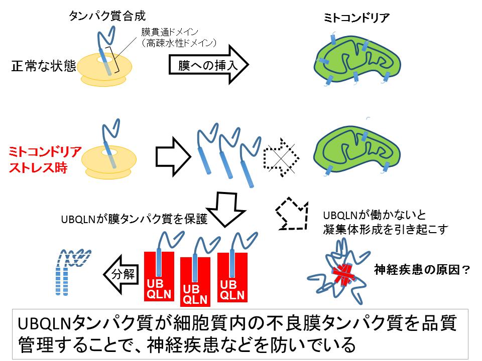 タンパク質 細胞膜